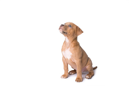 American staffordshire terrier isolated on a white background