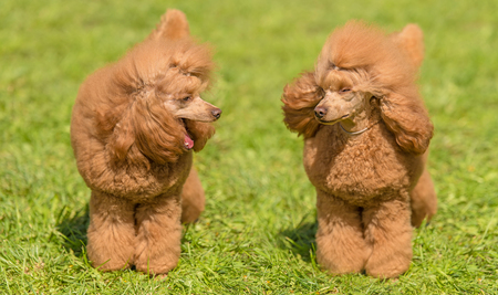 Two poodle dogs in the green park Stock Photo