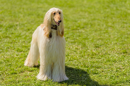 Long haired greyhound in the green park Stock Photo