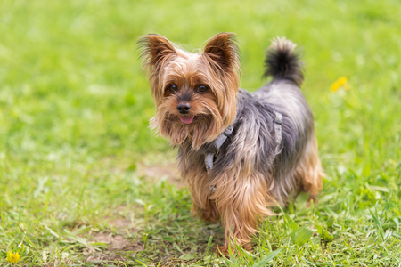 Yorkshire terrier in the park. Dog portrait