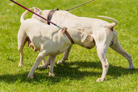 Two argentine dogs get acquainted in the park Stockfoto
