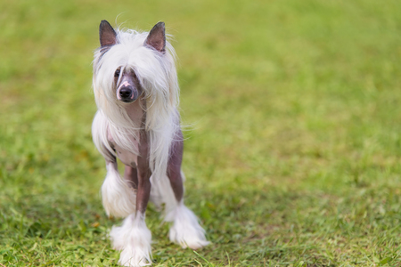 Chinese crested hairless dog in the green park