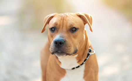 Strong and beautiful American staffordshire terrier portrait in the park
