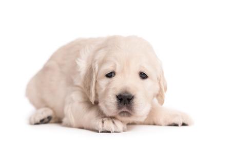 Pequeño perro Golden Retriever sobre un fondo blanco.