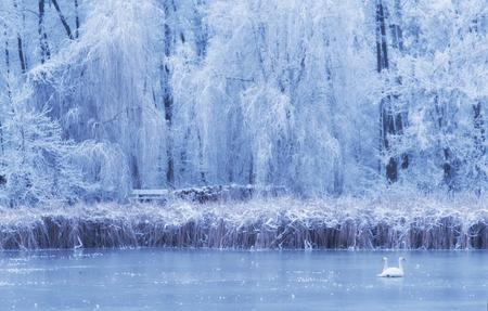 Łabędź na zamarzniętym jeziorze w zimowy dzień