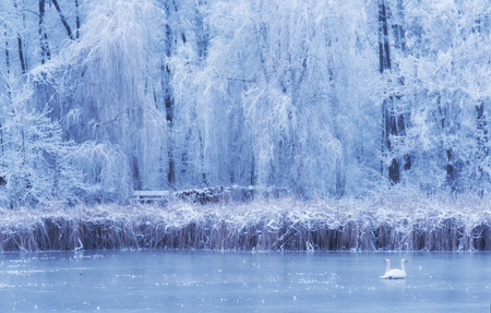 Swan on the frozen lake a winters day