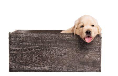 Adorable Golden Retriever dog in a wooden box