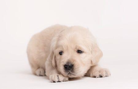 Adorable Golden Retriever dog on a white background