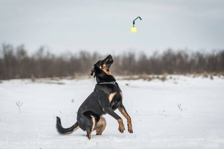 Beautyful Beauceron dog play in the snow a winters day
