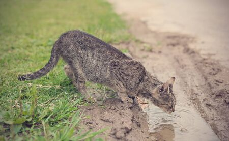 Beautiful gray cat drinking from puddle in the park Zdjęcie Seryjne
