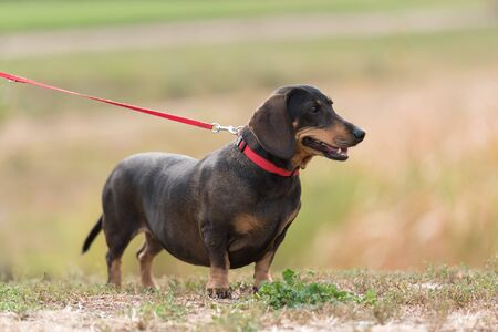 Dachshund dogs in the park. Dog portrait Stock fotó - 135499702