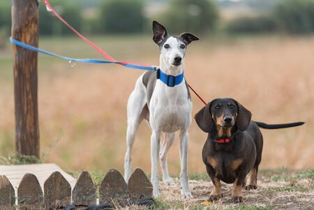 Greyhound and dachshund dogs in the park Stock fotó - 135499705
