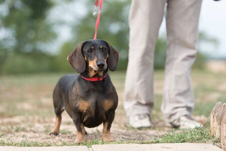 Dachshund dogs in the park. Dog portrait Stock fotó - 135499710