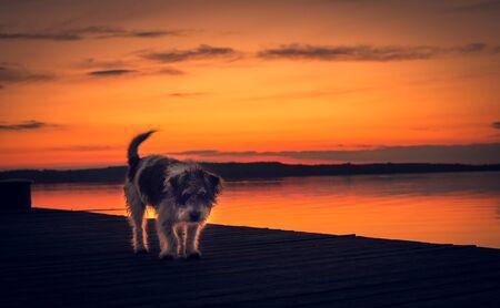 Sad mongrel dog walking on the pier at sunset