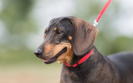 Dachshund dogs in the park. Dog portrait