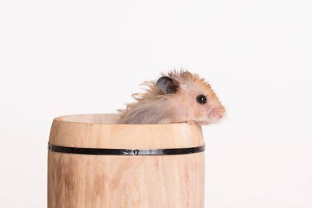 Adorable hamster in a small barrel on a white background