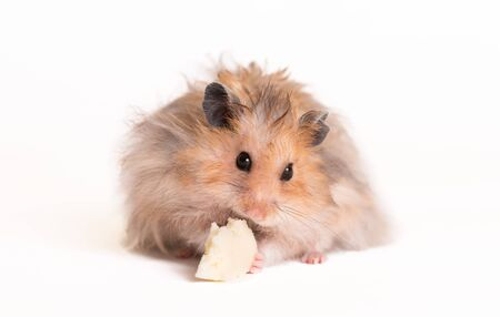 Adorable hamster eating on a white background Archivio Fotografico
