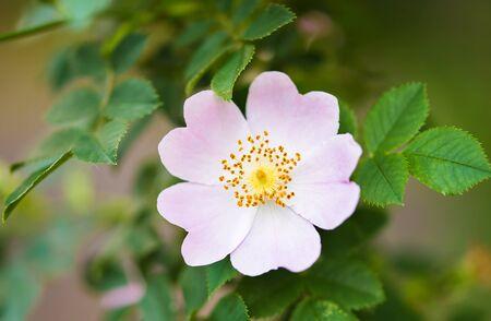 Closeup photo of a dog rose in the garden
