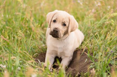 Dirty Labrador retriever puppy relaxing after dig in the garden Standard-Bild