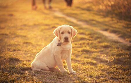 Portrait of a labrador retriever dog in sunset