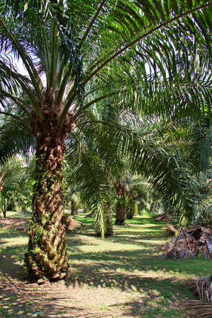 Oil Palm Plantation Stock Photo - 13088831