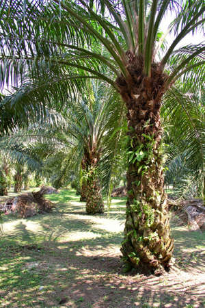 Oil Palm tree in plantation