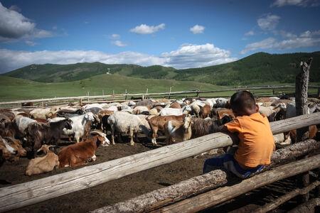 A nomadic mongolian boy watching a herd of goats
