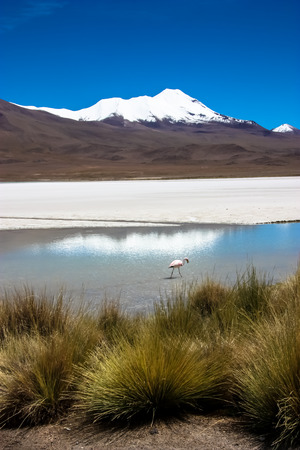 celeste: Flamingo on lake in Andes, the southern part of Bolivia