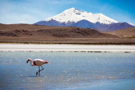 Flamingo on lake in Andes, the southern part of Bolivia