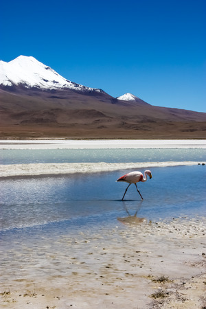 Flamingo on lake in Andes, the southern part of Bolivia photo