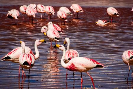 Flamingos in Laguna Colorada in Bolivia photo