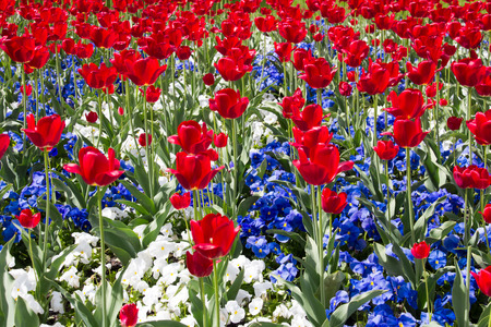 flor violeta: Rojo, blanco y azul de las flores Foto de archivo