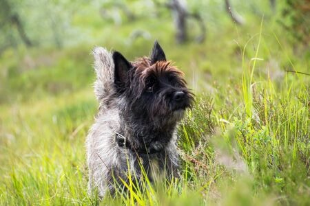 Cairn Terrier Reklamní fotografie