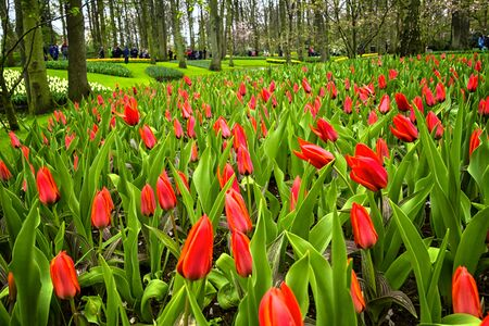 keukenhof: Tulips in Keukenhof, the Netherlands Stock Photo