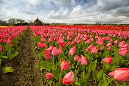 Field of tulips outside Amsterdam, the Netherlands