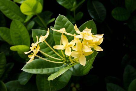panicle: Yellows flowers panicle on the tree