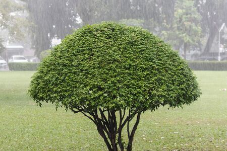 bush trimming: Trimmed tree standing in the rain. Stock Photo