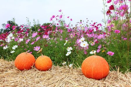 garden flowers: Pumpkin and flower in the field.