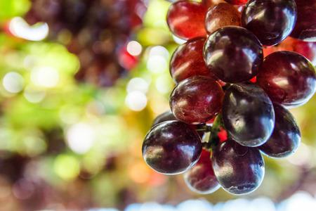 Grappe de raisin sur la vigne avec bokeh en arrière-plan.