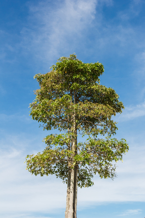 tall tree: Tall tree with blue sky in background.