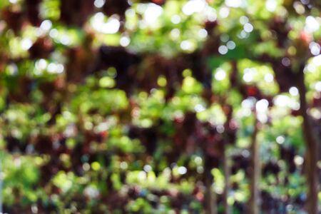 grapevine: Blur focus of grape on grapevine.