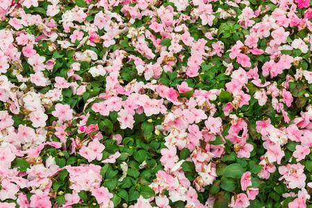 lizzie: Pink busy lizzie bush.