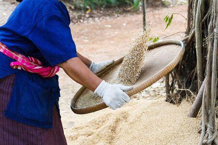 winnowing: Thai farmer winnowing rice. Stock Photo
