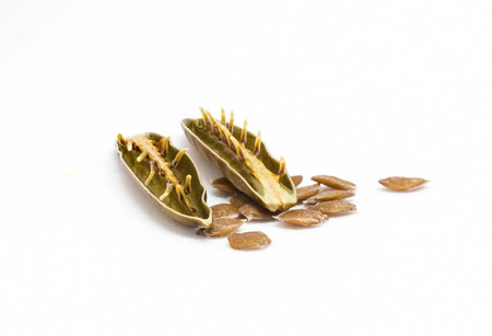 acanthaceae: Isolated seed and pod of minnieroot (ruellia tuberosa) on white background.
