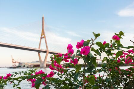 Blur Bhumibol bridge in background with Bougainvillea in front. Stock Photo
