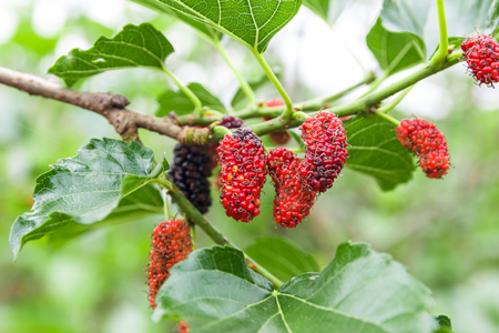 Mulberry on tree with blur background. Standard-Bild
