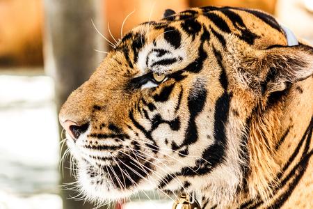 Closeup picture of Bengal tiger.