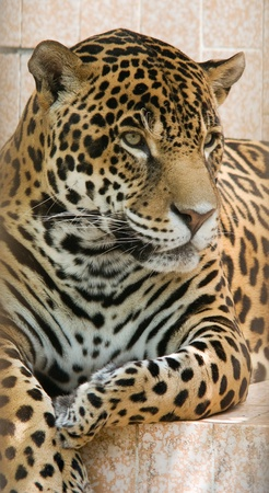 Close up photograph of jaguar. photo