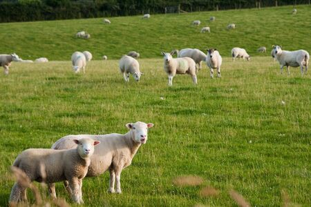 Photograph of grazing lambs in countryside farm  photo