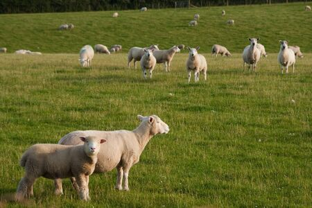 Photograph of grazing lambs in countryside farm